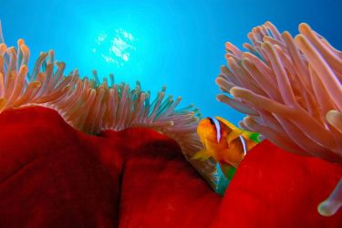 Animal Jigsaw Puzzles: Cute Anemone Fish