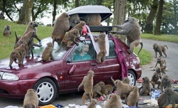 funny monkey11