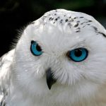 Jigsaw Puzzle: Snowy Owl