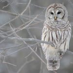 Jigsaw Puzzle: White Owl
