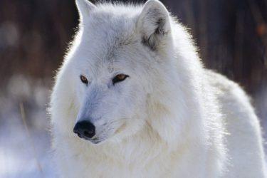 Jigsaw Puzzle: Beautiful White Wolf