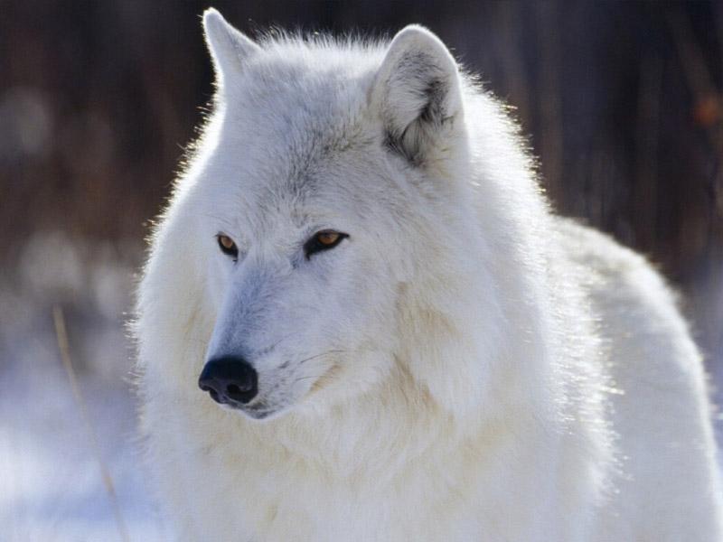 beautiful blue white wolf - photo #17