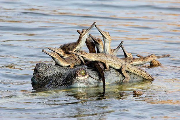 Animal Planet Wildlife Photographer Of The Year 2013 crocodile mother