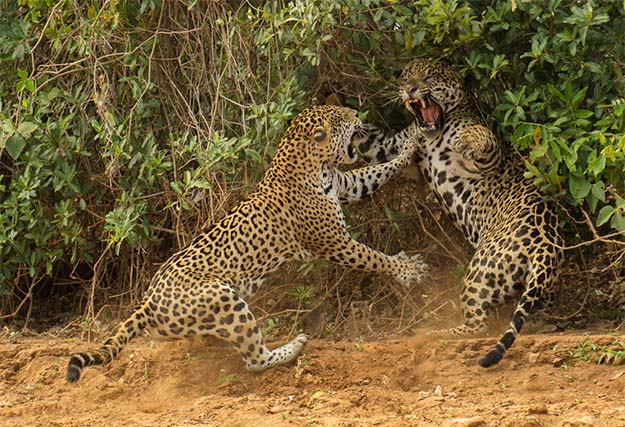 Animal Planet Wildlife Photographer Of The Year 2013 jaguar-fight