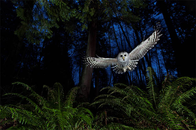 Animal Planet Wildlife Photographer Of The Year 2013 owl-night