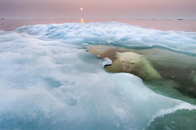 Animal Planet Wildlife Photographer Of The Year 2013 polar-bear