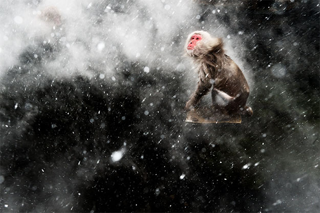 Animal Planet Wildlife Photographer Of The Year 2013 snow-macaques