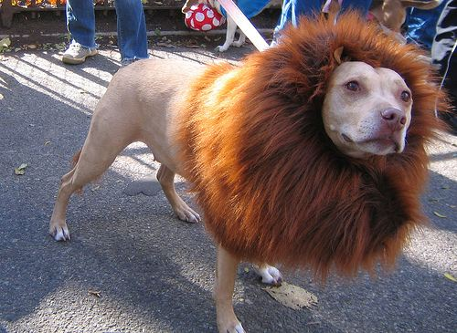 Dogs in costume_Lion