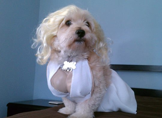Marilyn Monroe Dog Costume ... & Hilarious Dogs in Costumes