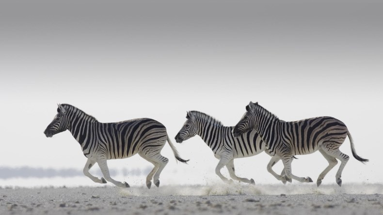 amazin pictures africa zebras running