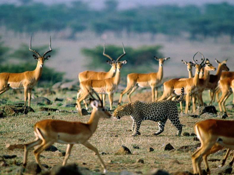 amazing pictures africa Impalas