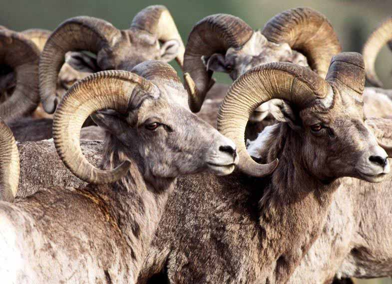 amazing pictures africa big horn sheep