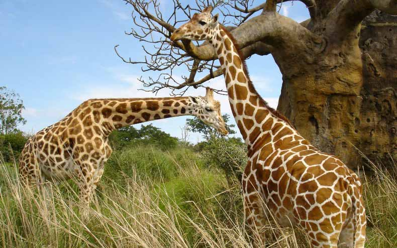 amazing pictures africa giraffes