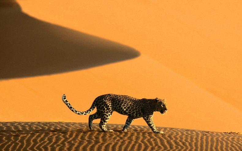 amazing pictures africa tiger desert