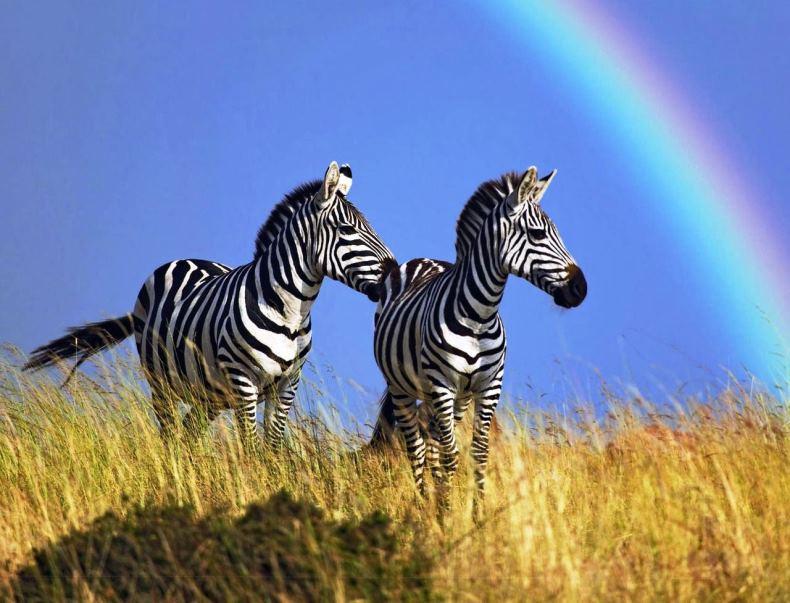 amazing pictures africa zebras rainbow