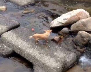 Cutest Dog Playing Fetch Alone In The River
