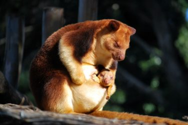 Animal Jigsaw Puzzles: Adorable Tree Kangaroo