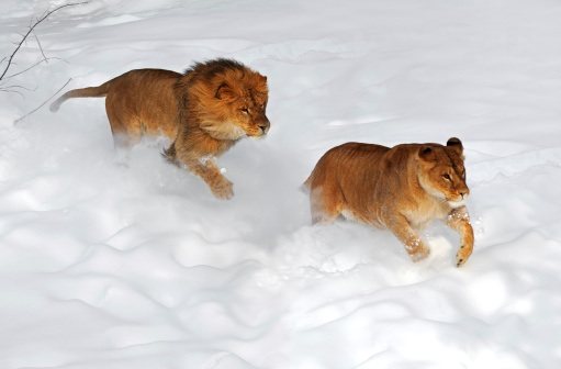 Cats playing in snow 19