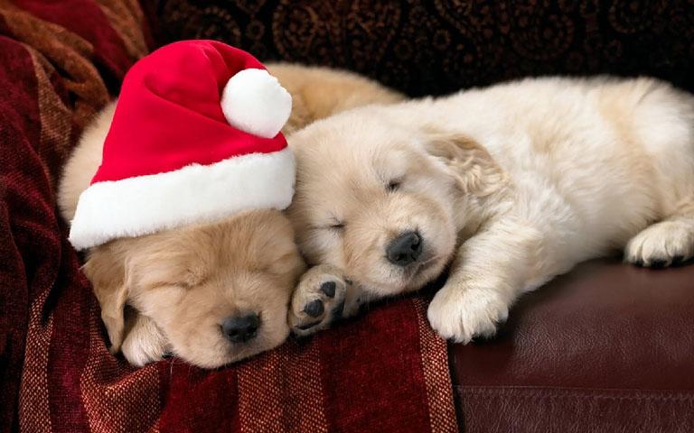 Christmas pet photos13