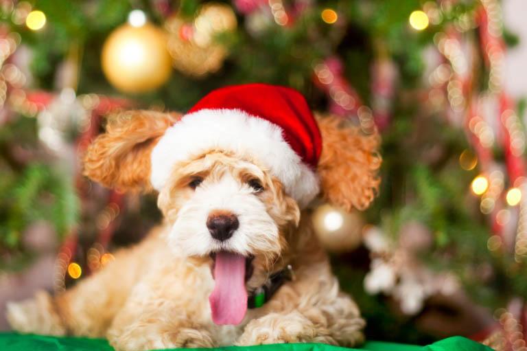 Christmas pet photos15