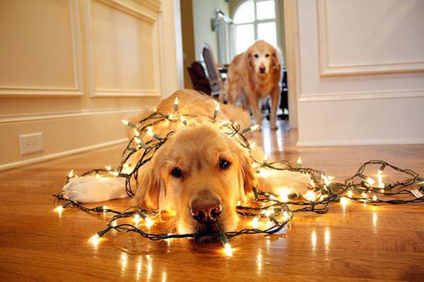 Christmas pet photos5