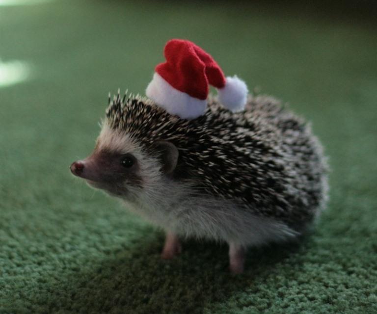 Christmas pet photos6