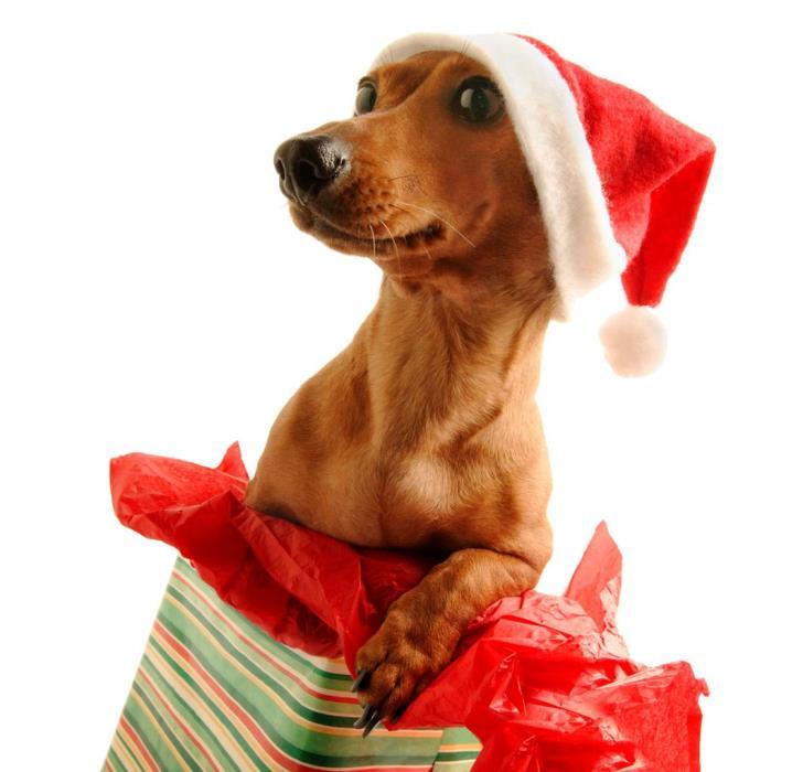 Christmas pet photos7