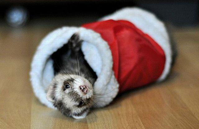 Christmas pet photos8