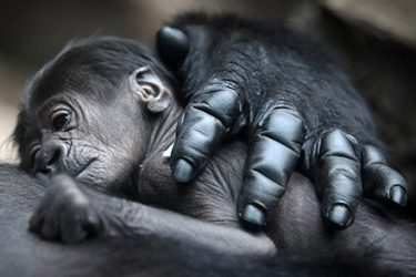 New Gorilla Baby at The San Francisco Zoo