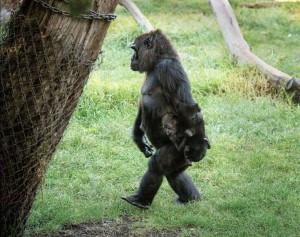 gorilla baby 5