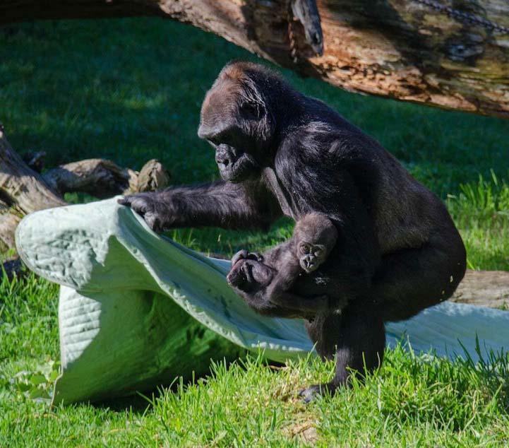 gorilla baby 6