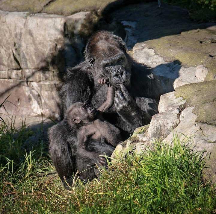 gorilla baby 7