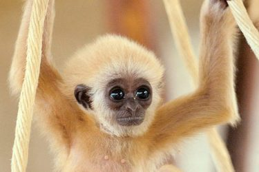 Animal Jigsaw Puzzles: Hainan Gibbon