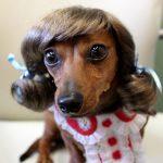 Pets Wearing Wigs