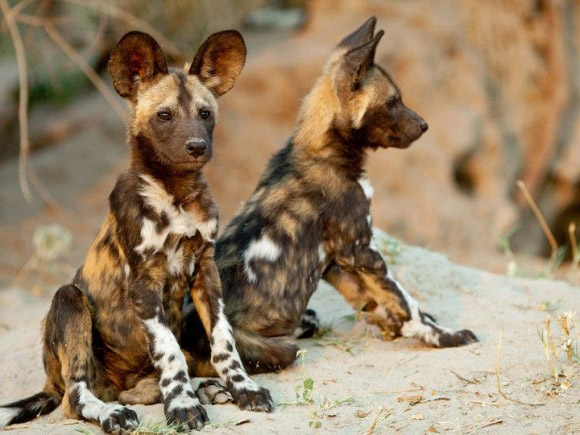 African-wild-dog-puppies