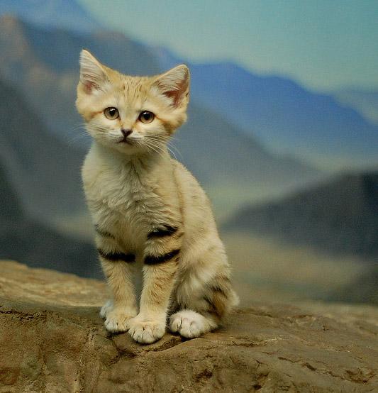 Sand Cat baby
