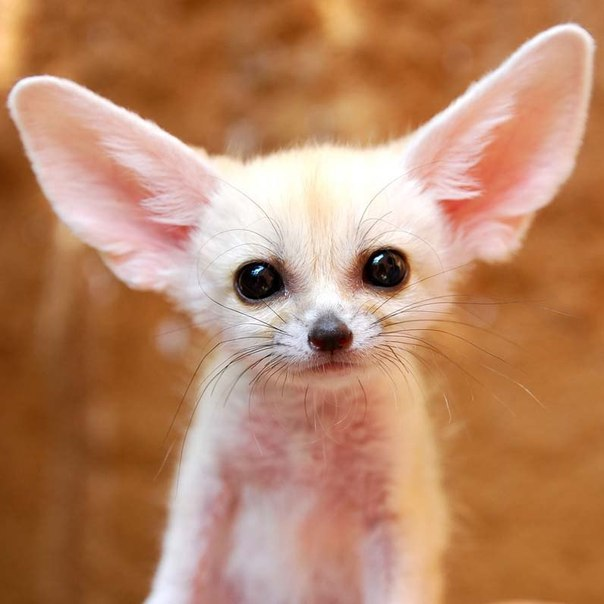 10 Cutest Babies of Exotic Animals Living in The Desert Fennec Fox Newborn