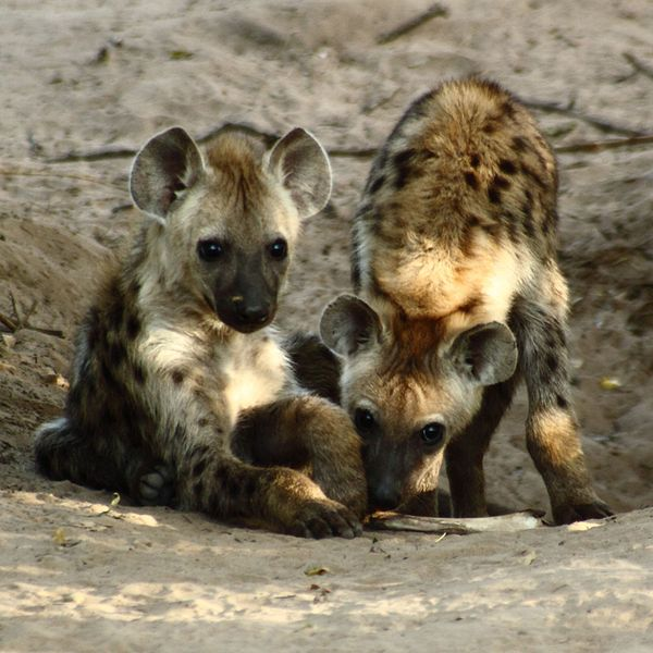 Baby Hyena: 10 Cutest Babies Of Exotic Animals Living In The Desert