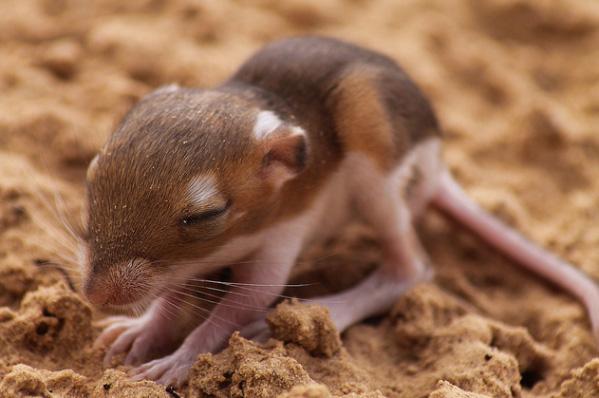 ords kangaroo rat baby