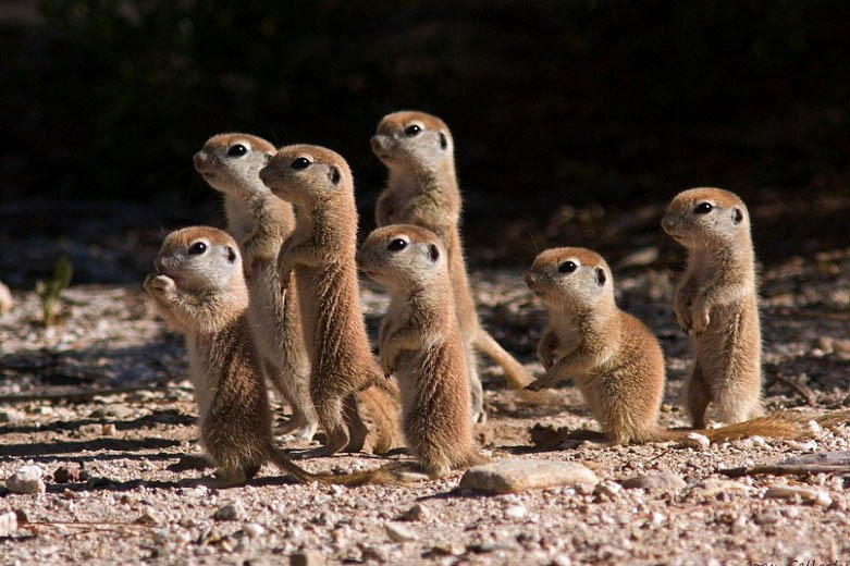 prairie-dog-pups