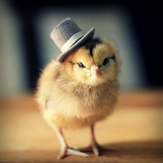 Chicks In Hats1