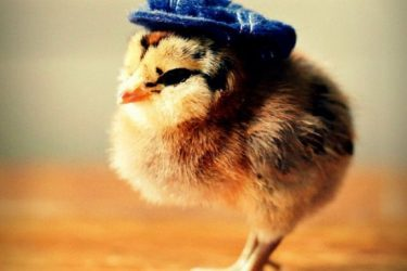 Cute Chicks Wearing Hats