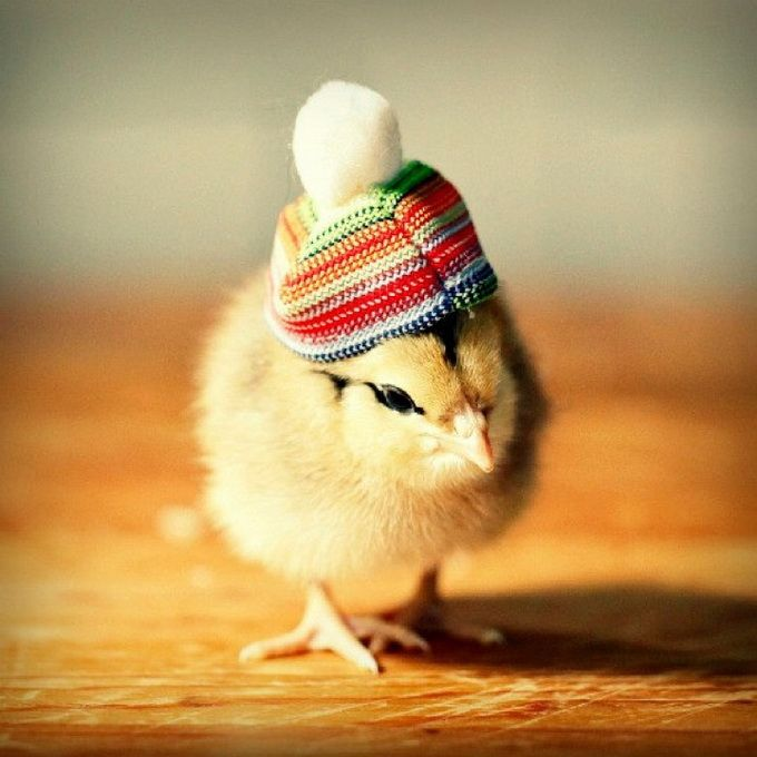 Chicks In Hats4