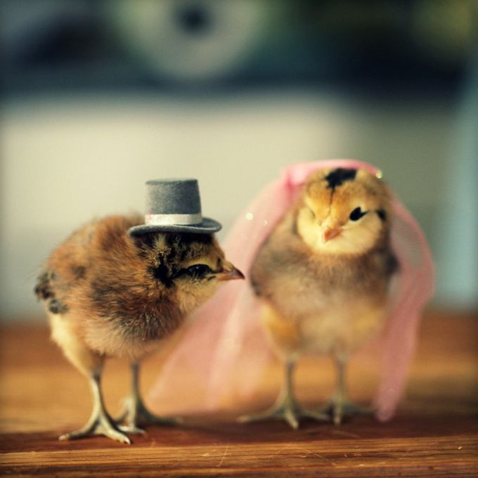 Chicks In Hats6