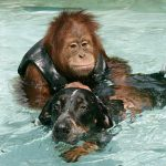Suryia The Orangutan And Roscoe The Dog