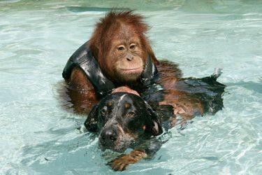 Suryia The Orangutan And Roscoe The Dog