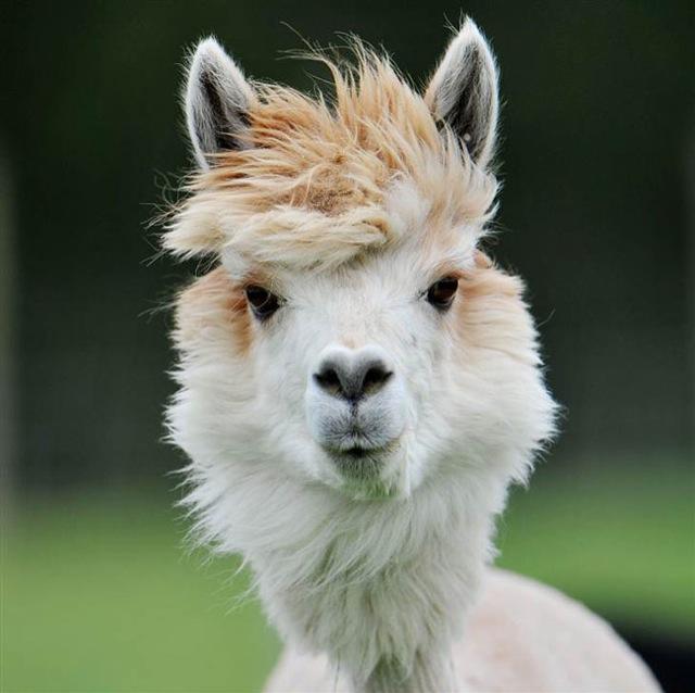 Fabulous Alpaca Haircut5