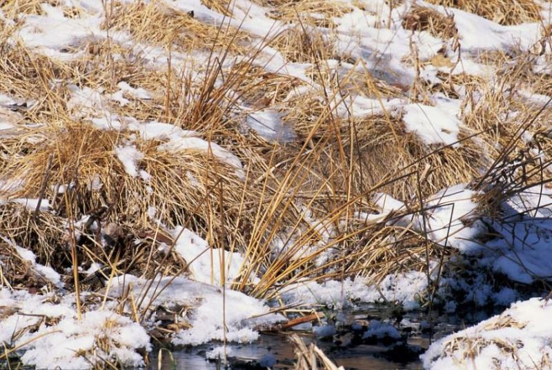 animal camouflage commun snipe