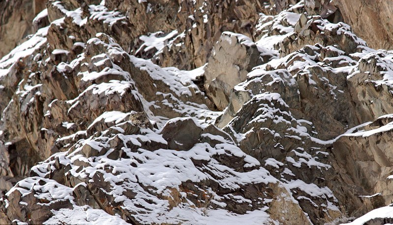animal camouflage snow leopard