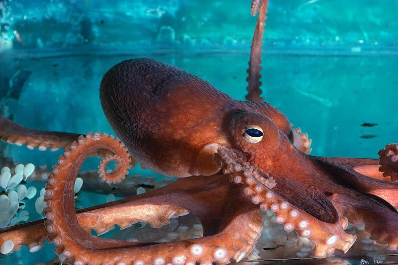ca. 2000 --- Orange Octopus --- Image by © Royalty-Free/Corbis